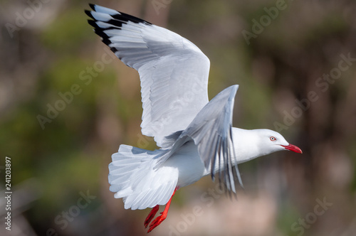 Fotografie, Obraz  Seagull in flight