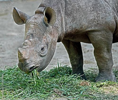 African rhinoceros. Latin name - Diceros bicornis
