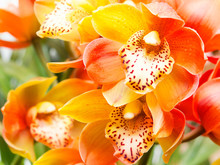 Orchid Flower Close Up