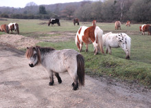 Shetland Ponies In The New For...