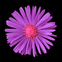Amethyst Pink Flower Isolated On  Black Background. Close-up. Nature.