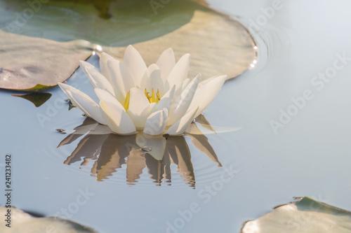 Foto op Plexiglas Waterlelies White Water lily on water surface. Water lily reflection in water.