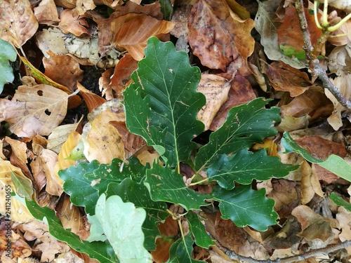 Valokuva  Eichenblatt auf Herbstlaub im Odenwald
