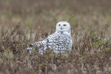 Snowy Owl In Grass Field