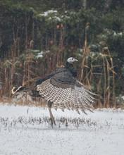 Wild Turkey Dancing In Snowfall