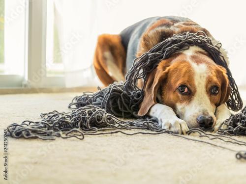 Fototapeta A Beagle dog is tangled up in a big ball of yarn.