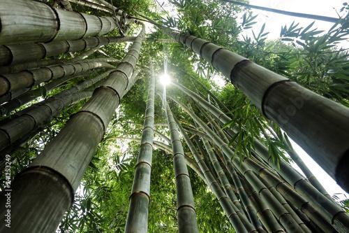 Bosque de Bambù