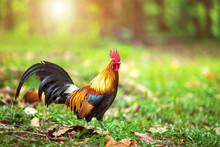 A Beautiful Male Rooster Walki...