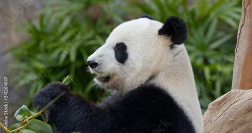 Panda eat green bamboo Canvas Print