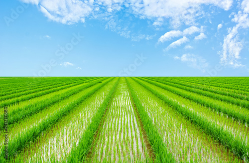 Foto auf Leinwand Lime grun Chinese rural paddy field / agricultural planting background