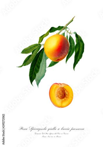 Valokuva Vintage watercolour botanic art poster of peach.