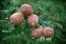 Atlas Cedar Cones