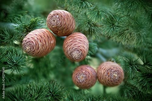 Photo  Atlas Cedar Cones