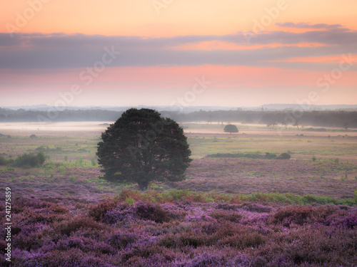 Poster Lavender Roydon Common Dawn