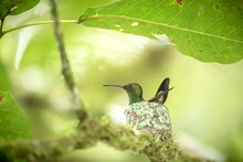 Copper-rumped Hummingbird (Ama...