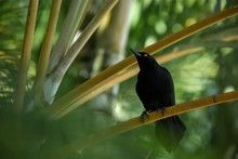 Carib Grackle Sitting On Palm ...