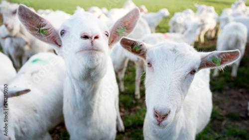 white goats in green meadow near farm in dutch province of utrecht