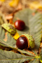 Horse Chestnut Conkers Fell From The Tree,  Autumn Season Macro Detail Photography.