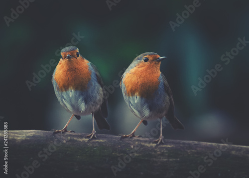 Photo Close up 2 Rotkehlchen sitzen zusammen auf einem Ast