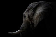 Portrait Elefant Mit Stoßzäh...