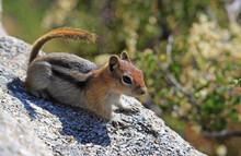 Golden-mantled Ground Squirrel, City Of Rocks, Idaho