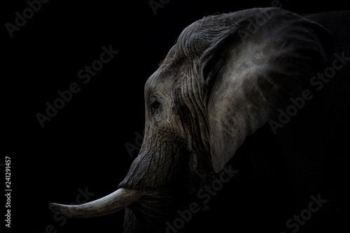 Photo  Portrait Elefant mit Stoßzähnen schwarzer Hintergrund