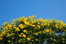 Yellow Allamanda Flowers