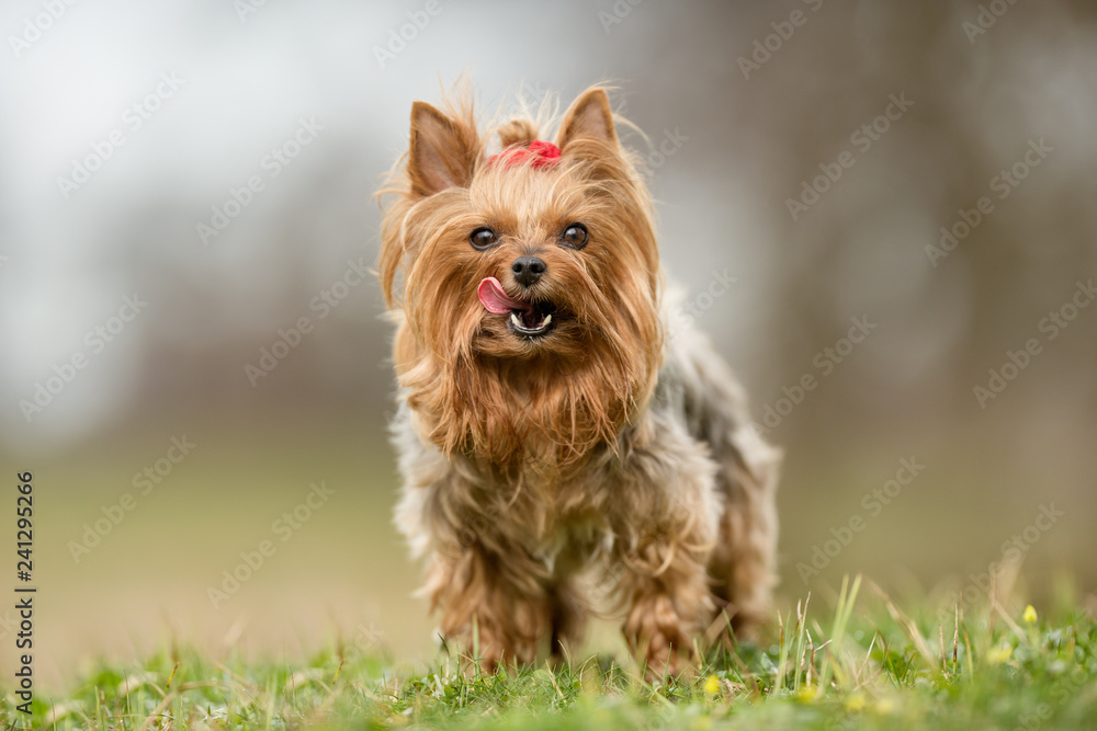 Fototapety, obrazy: yorkshire terrier on grass