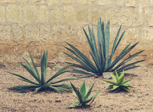 Detail Of Some Maguey Plants