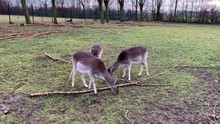 Three Does Eating Grass In The...