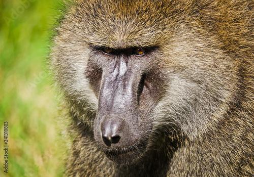 Fotografie, Obraz  Baboon. Marmoset monkey African savannah. Baboon in their natura