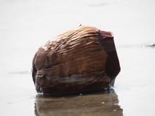 Coconut Fruit Is Sea Near Drin...