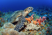 The Sea Turtle Sits Under Water Among Beautiful Soft Corals.