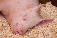 Image Of A Pink Pig Asleep