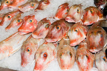 Red Gurnard Aspitrigla Cuculus Packed In Ice On A Fishmongers Slab / Counter