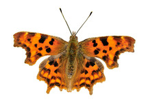 Comma Butterfly, Polygonia C Album With Wings Open