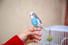 The Budgerigar Is Sitting On T...