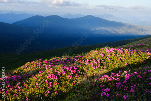 Fototapety, obrazy: Magic pink rhododendron flowers on summer mountain. Dramatic sky and colorful sunset. Chornohora ridge, Carpathians, Ukraine, Europe.