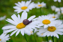 A Snail Crawling On A Flower Growing In A Spring Meadow. Chamomile Covered With Raindrops.