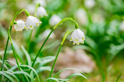 Fototapety, obrazy: Close up image of fresh white and yellow spring snowflake flowers, Leucojum vernum, growing in a garden, blurry green and brown background