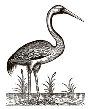 Common Crane, Grus Sitting Between The Reeds On A Waterside. Illustration After An Antique Woodcut Engraving From The 16th Century