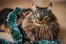 Funny Norwegian Cat With Garlands Under Christmas Tree On New Year. Cat Plays With Christmas Tree Toys