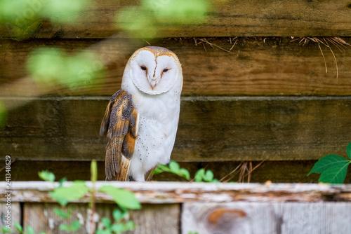 Fotomural Surrey the English Barn Owl