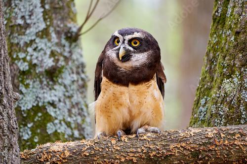 Pinturas sobre lienzo  Estralla the Spectacled Owl