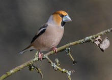 Hawfinch (Coccothraustes Coccothraustes), In A Splendid Dress, Sitting On A Branch With Lichens, Biosphere Area Swabian Alb, Baden-Wurttemberg, Germany, Europe