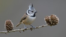 Crested Tit (Lophophanes Cristatus), Sits On Larches Branch (Larix) With Cone, Biosphere Area Swabian Alb, Baden-Wurttemberg, Germany, Europe
