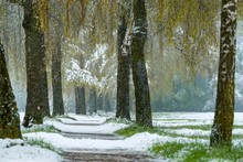 Birch Tree Alley (Betula) With...