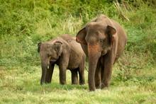 Sri Lankan Elephants (Elephas Maximus Maximus) Grazing, Minneriya National Park, Northern Central Province, Sri Lanka, Asia