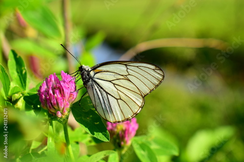 White butterfly on a pink flower Canvas Print