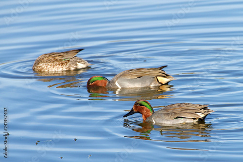 Fotografie, Obraz  Green Winged Teal ducks foraging for food in shallow marsh water